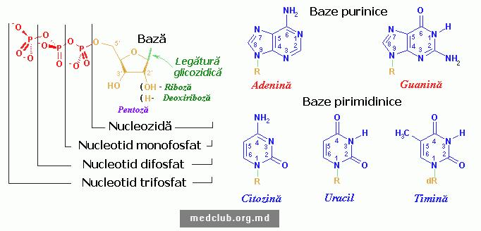 Nucleotid