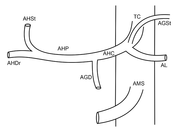 Anatomia arteriala hepatica tip I