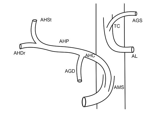 Anatomia arteriala hepatica tip IX